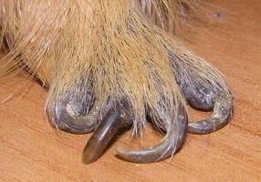 У собаки отрывается ноготь